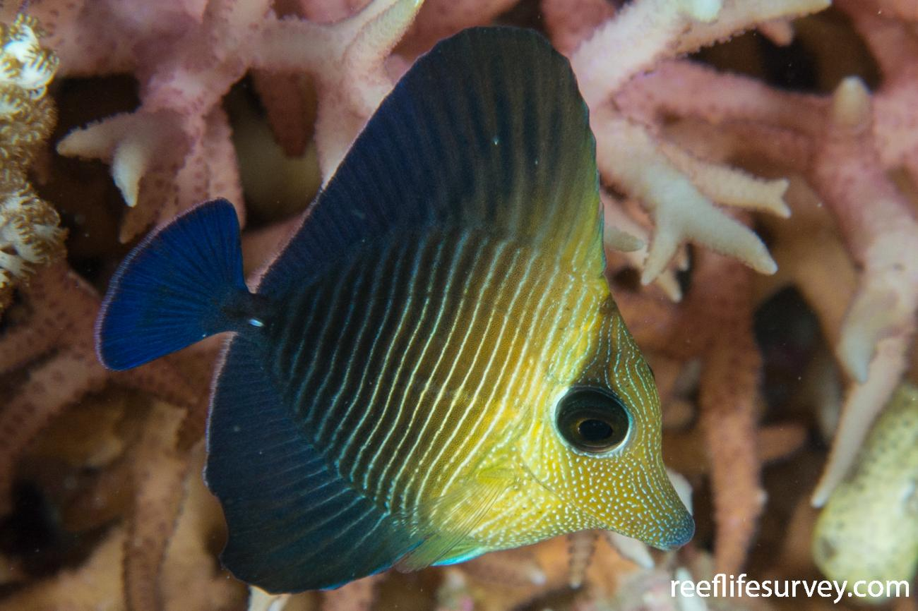 Zebrasoma scopas, Juvenile.  Photo: Rick Stuart-Smith