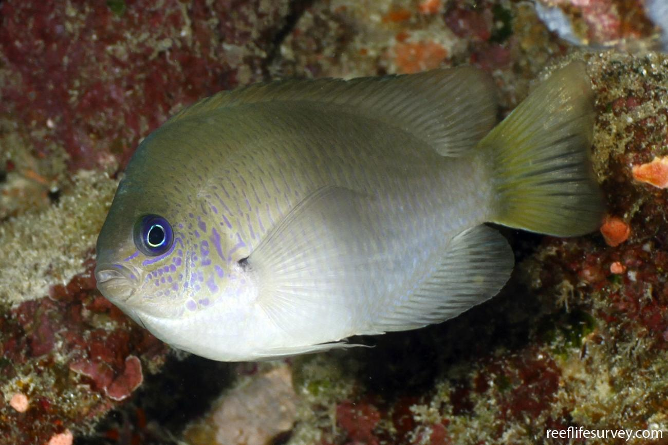 Pomacentrus reidi, Adult, Coral Sea, Australia,  Photo: Ian Shaw