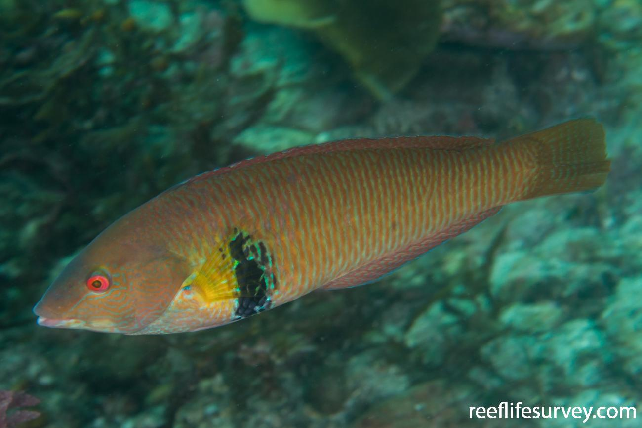 Halichoeres semicinctus, Male, Gulf of California, Mexico,  Photo: Rick Stuart-Smith
