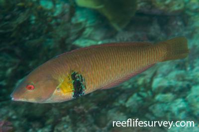 Halichoeres semicinctus: Male, Gulf of California, Mexico,  Photo: Rick Stuart-Smith
