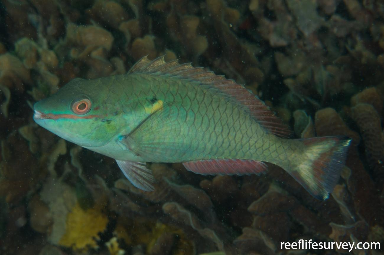 Sparisoma aurofrenatum, Male, Panama,  Photo: Rick Stuart-Smith