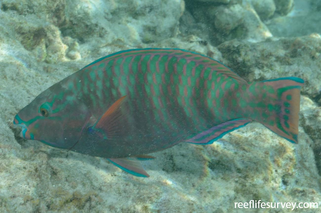 Scarus russelii, Seychelles,  Photo: Rick Stuart-Smith