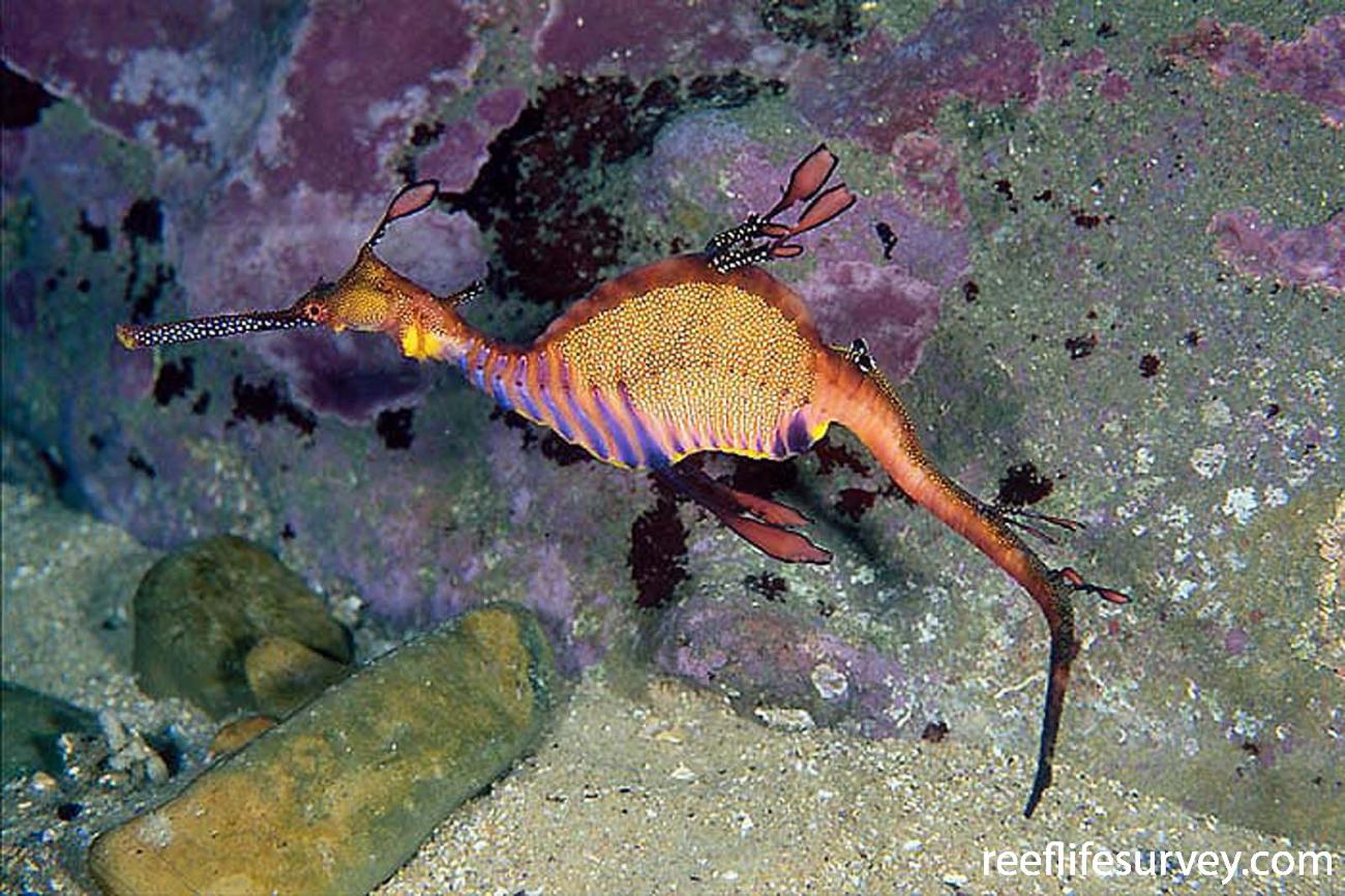 Phyllopteryx taeniolatus, Batemans Bay, NSW,  Photo: Andrew Green