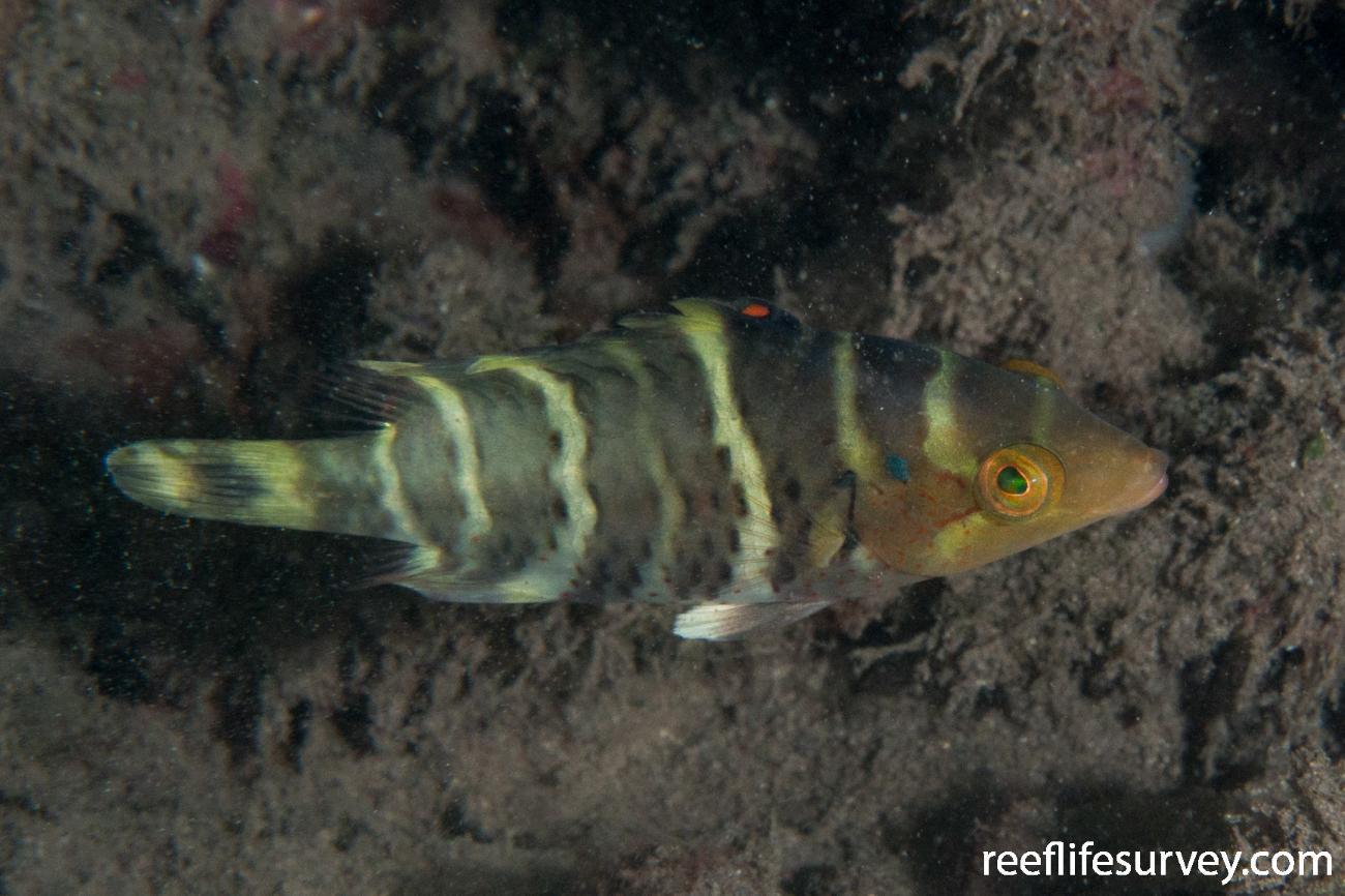 Cheilinus fasciatus, Raja Ampat, Indonesia,  Photo: Rick Stuart-Smith
