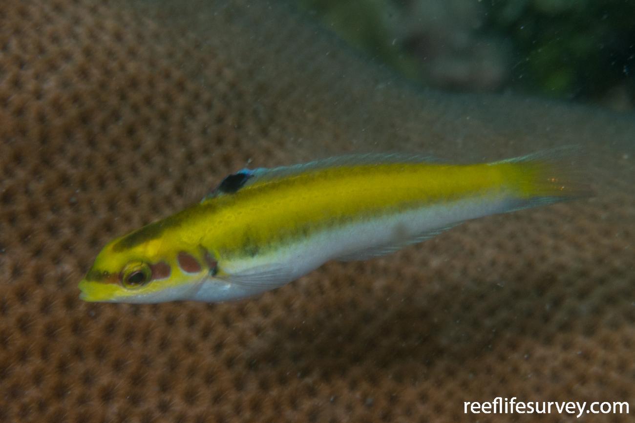 Thalassoma bifasciatum, Juvenile, Bocas del Toro, Panama,  Photo: Rick Stuart-Smith