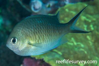 Chromis ternatensis: Adult.  Photo: Rick Stuart-Smith
