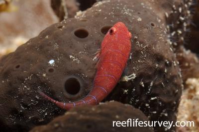 Cochleoceps bicolor: Adelaide,  Photo: Rick Stuart-Smith