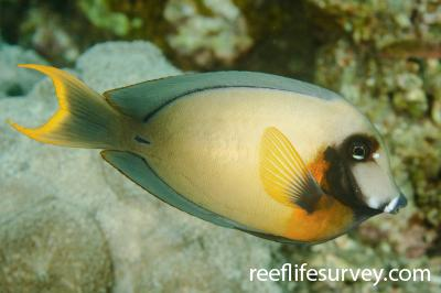 Acanthurus pyroferus: Bali, Indonesia,  Photo: Ian Shaw