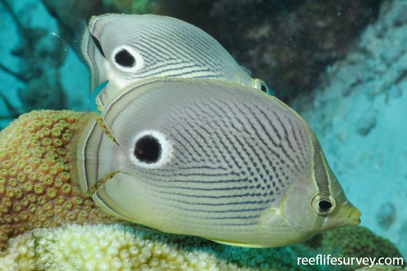 Chaetodon capistratus, Bonaire,  Photo: Rick Stuart-Smith