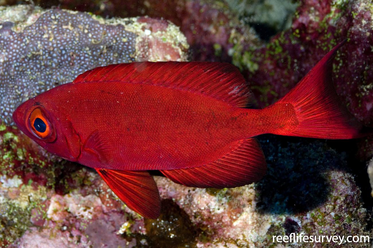 Priacanthus hamrur, Coral Sea, QLD,  Photo: Andrew Green