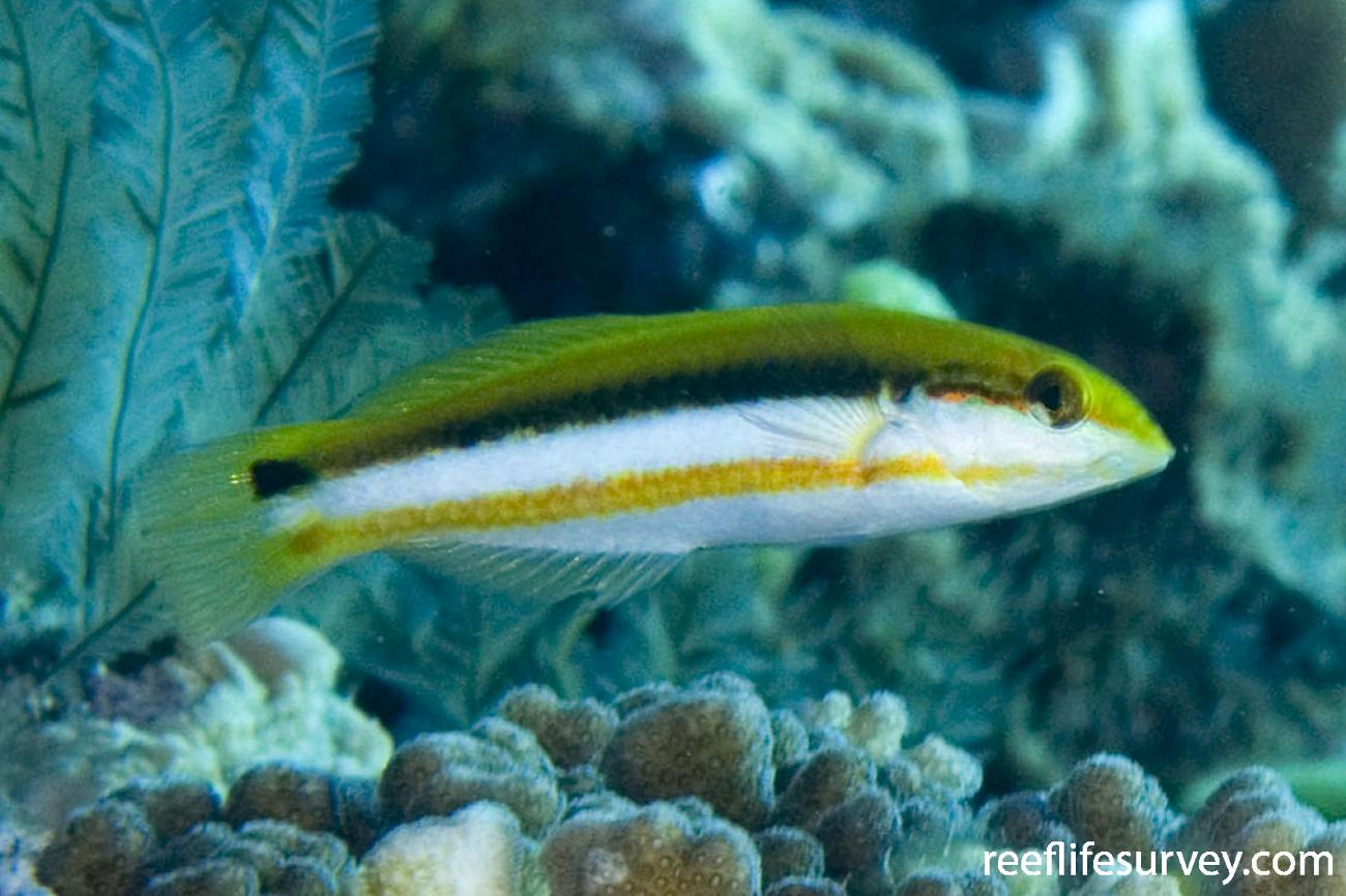 Thalassoma lutescens, Juvenile, Lord Howe Is, NSW,  Photo: Andrew Green