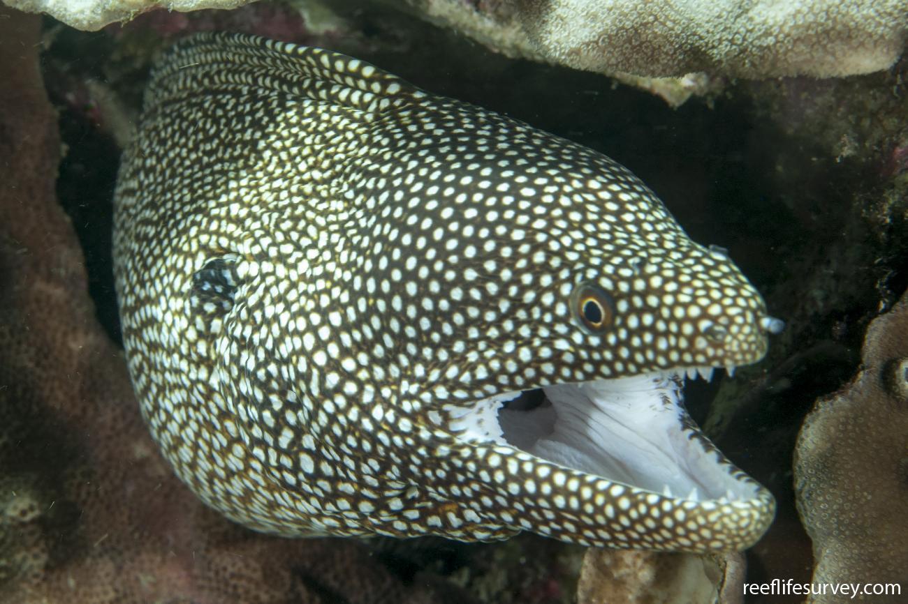 Gymnothorax meleagris, Lord Howe Is, Australia,  Photo: Ian Shaw