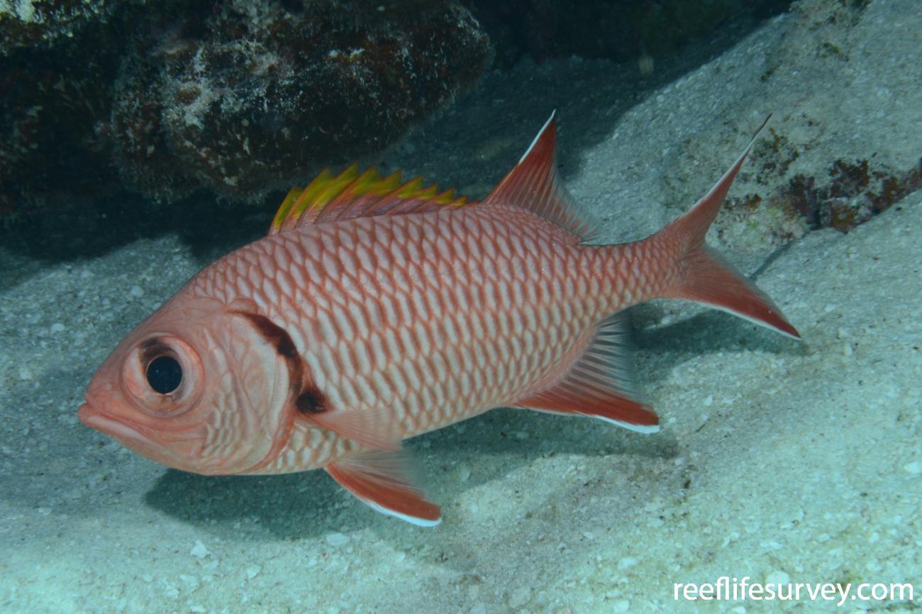 Myripristis berndti, Coral Sea, Australia,  Photo: Graham Edgar