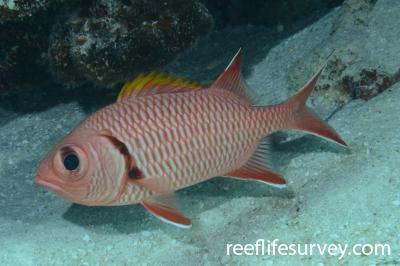 Myripristis berndti: Coral Sea, Australia,  Photo: Graham Edgar
