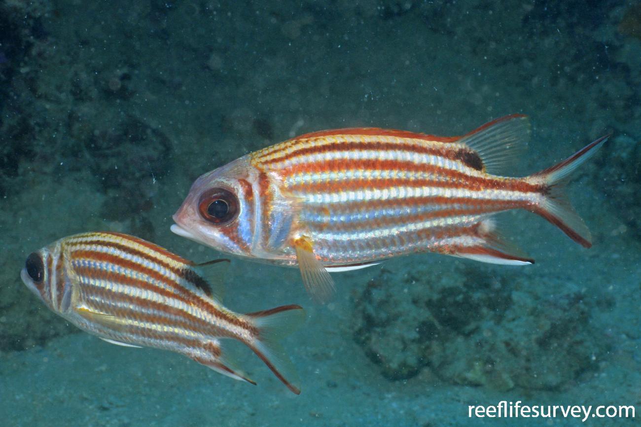 Sargocentron rubrum, Great Barrier Reef, Australia,  Photo: Graham Edgar
