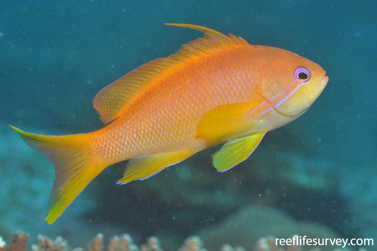 Pseudanthias squamipinnis, Female.  Photo: Rick Stuart-Smith