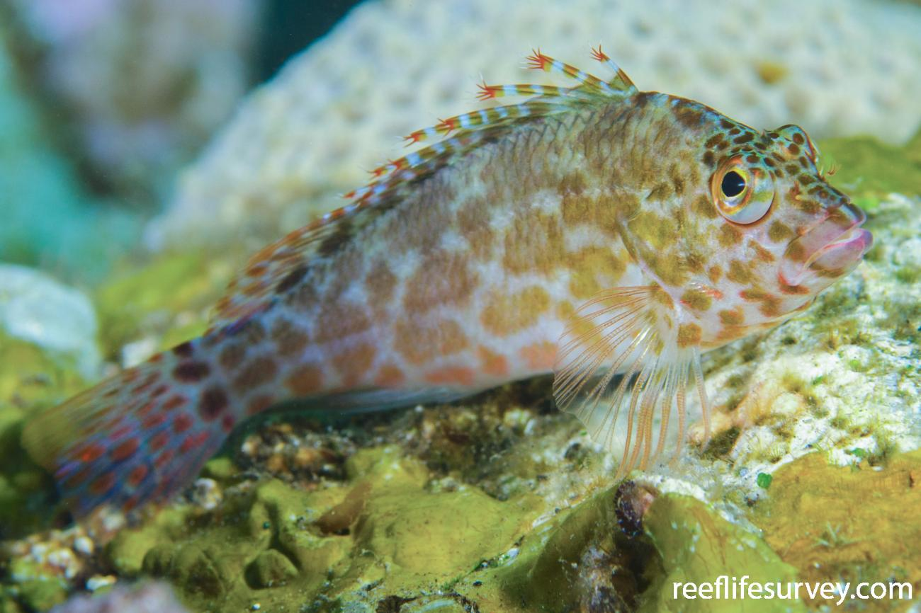 Cirrhitichthys oxycephalus, Adult, Bali, Indonesia,  Photo: Ian Shaw