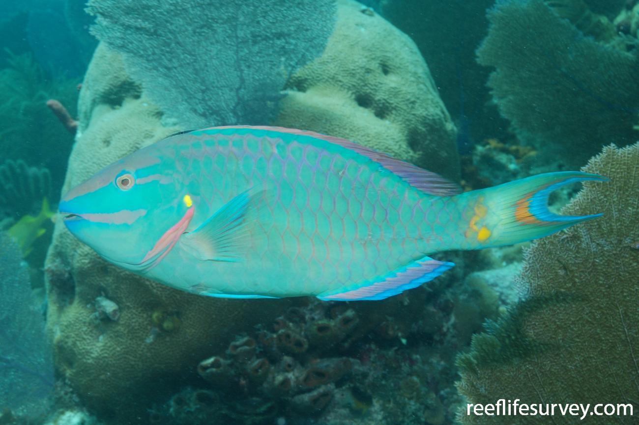Sparisoma viride, Male, Florida Keys, USA,  Photo: Graham Edgar