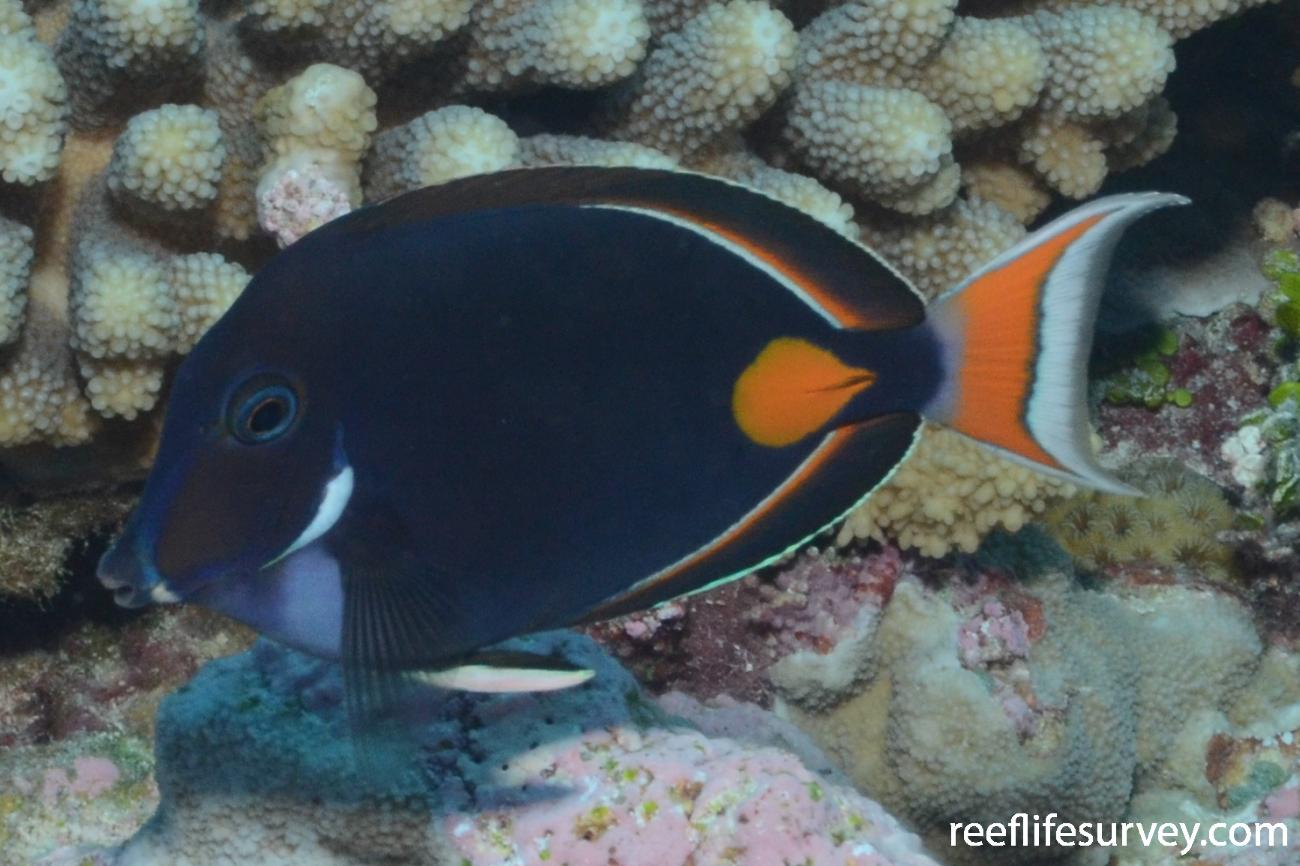 Acanthurus achilles, French Polynesia,  Photo: Graham Edgar