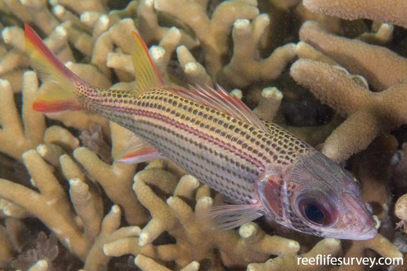 Neoniphon argenteus, Offshore WA, Australia,  Photo: Rick Stuart-Smith