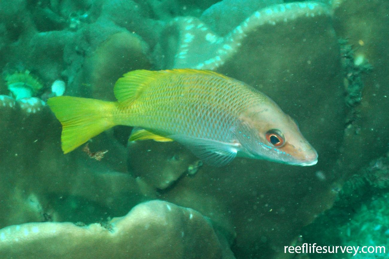 Lutjanus argentiventris, Isla Seca, Panama,  Photo: Graham Edgar