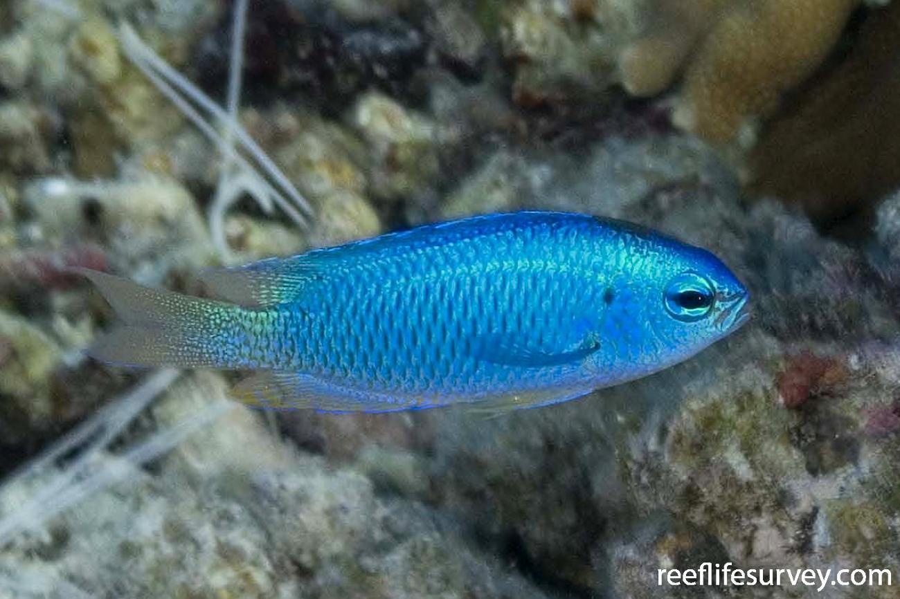 Pomacentrus coelestis, Raja Ampat, Indonesia,  Photo: Andrew Green