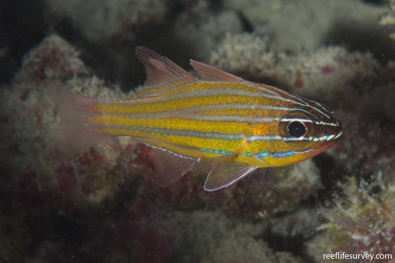 Ostorhinchus wassinki, Ningaloo Reef, WA,  Photo: Rick Stuart-Smith