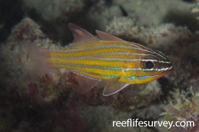 Ostorhinchus wassinki: Ningaloo Reef, WA,  Photo: Rick Stuart-Smith