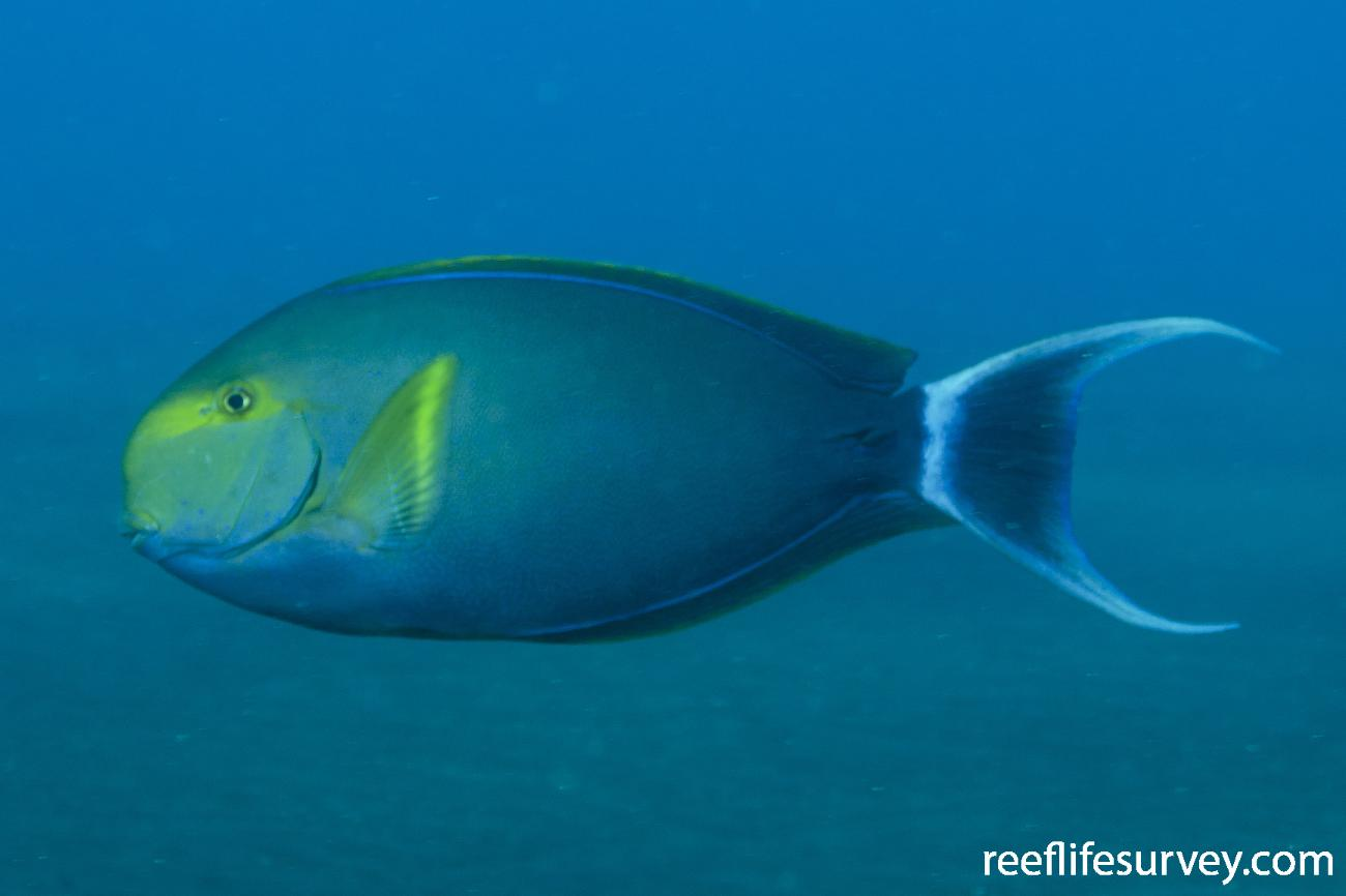 Acanthurus xanthopterus, Adult, Bali, Indonesia,  Photo: Ian Shaw