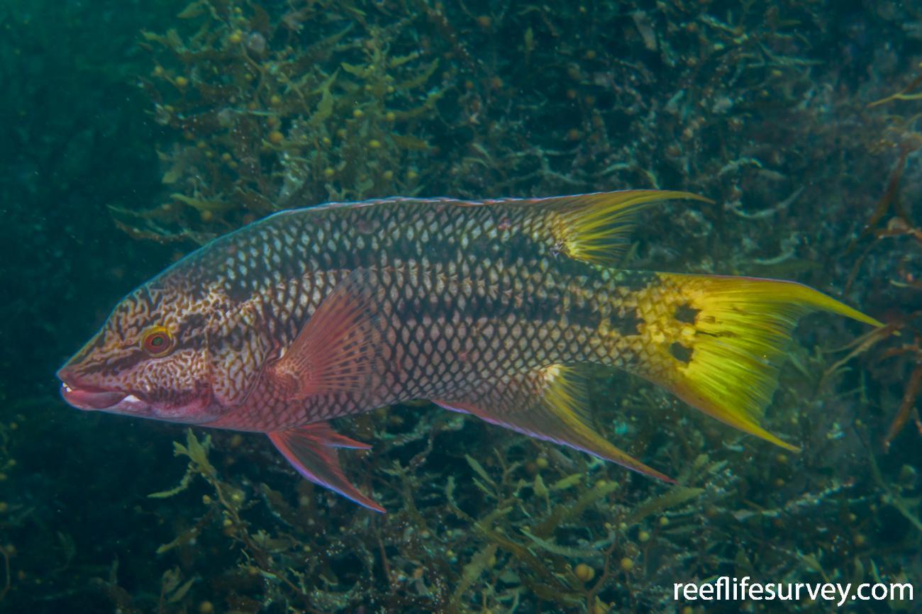 Bodianus diplotaenia, Gulf of California, Mexico,  Photo: Rick Stuart-Smith