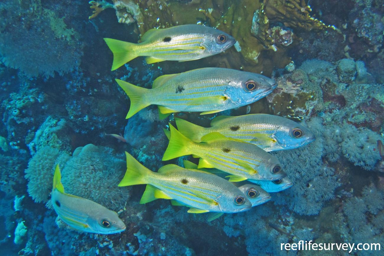 Lutjanus ehrenbergii, Red Sea,  Photo: Jemina Stuart-Smith