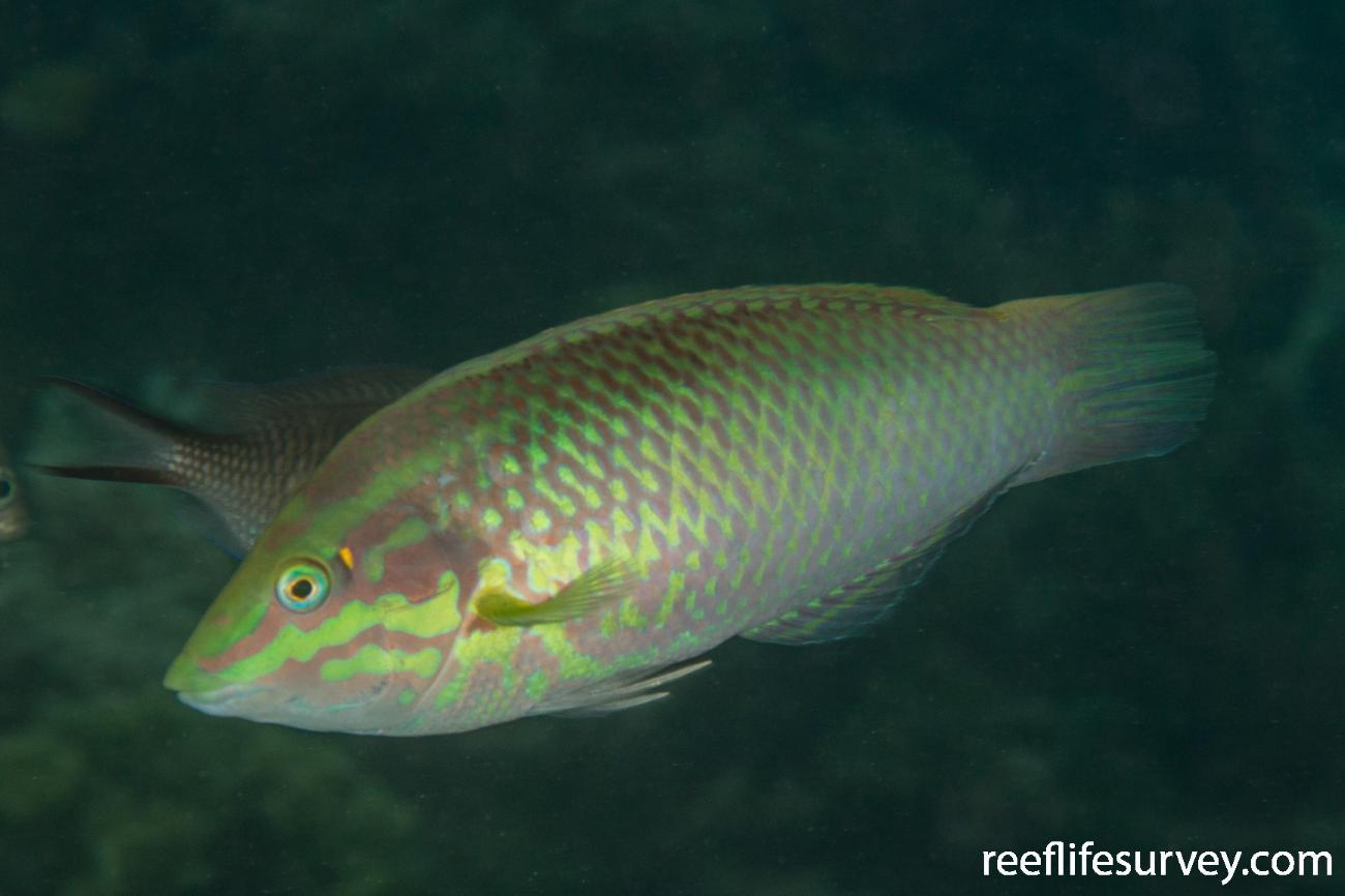 Halichoeres chloropterus, Male, Raja Ampat, Indonesia,  Photo: Rick Stuart-Smith