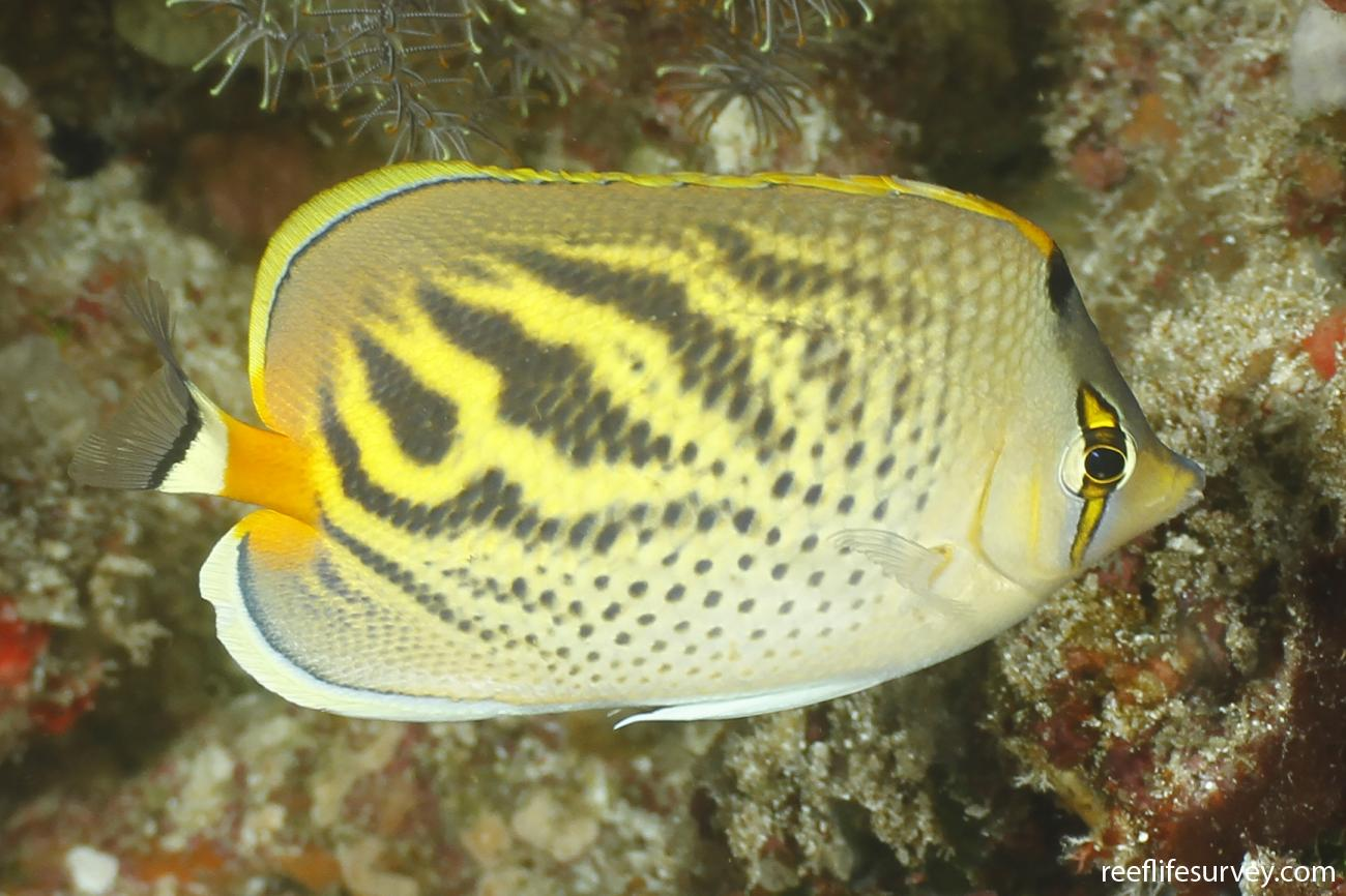 Chaetodon pelewensis, Coral Sea, Australia,  Photo: Ian Shaw