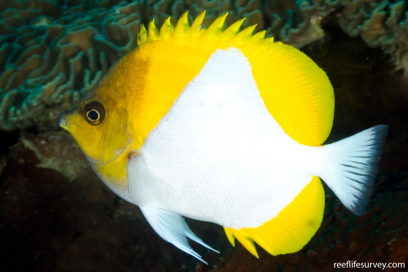 Hemitaurichthys polylepis, Nusa Lembongan, Indonesia,  Photo: Ian Shaw