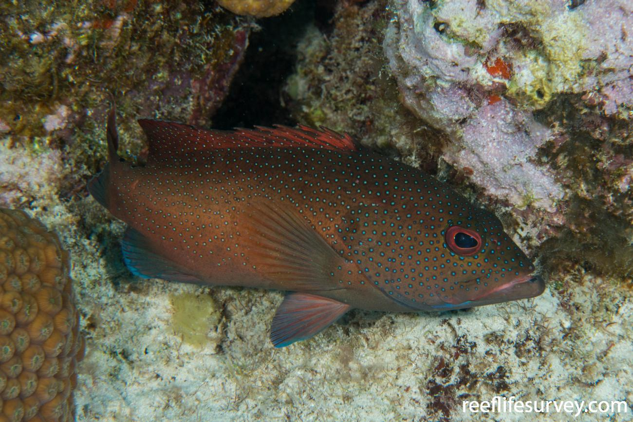 Cephalopholis fulva, Turks & Caicos,  Photo: Rick Stuart-Smith