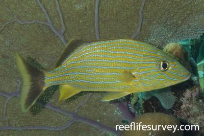 Haemulon sciurus: Belize,  Photo: Rick Stuart-Smith