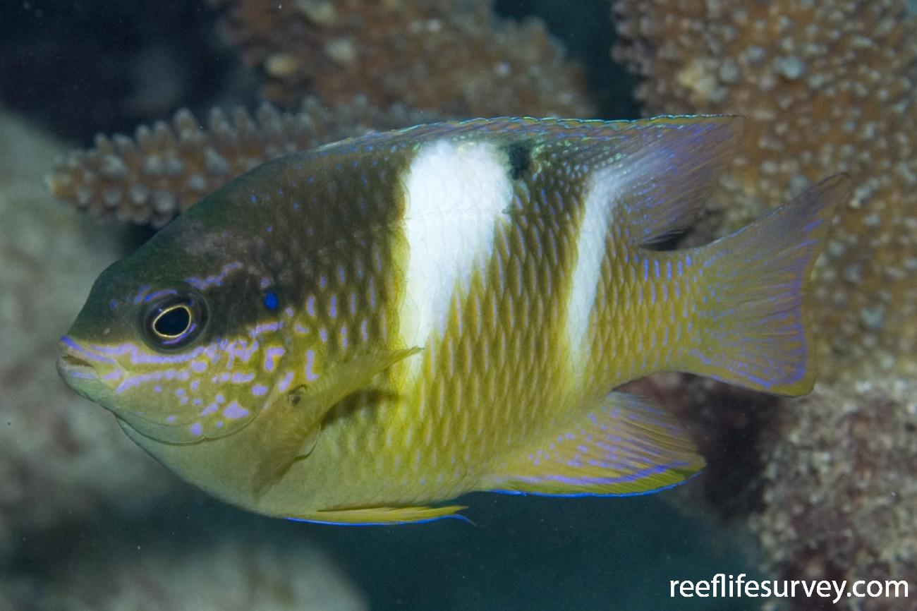 Dischistodus pseudochrysopoecilus, Intermediate. Great Barrier Reef, Cairns, Qld,  Photo: Andrew Green