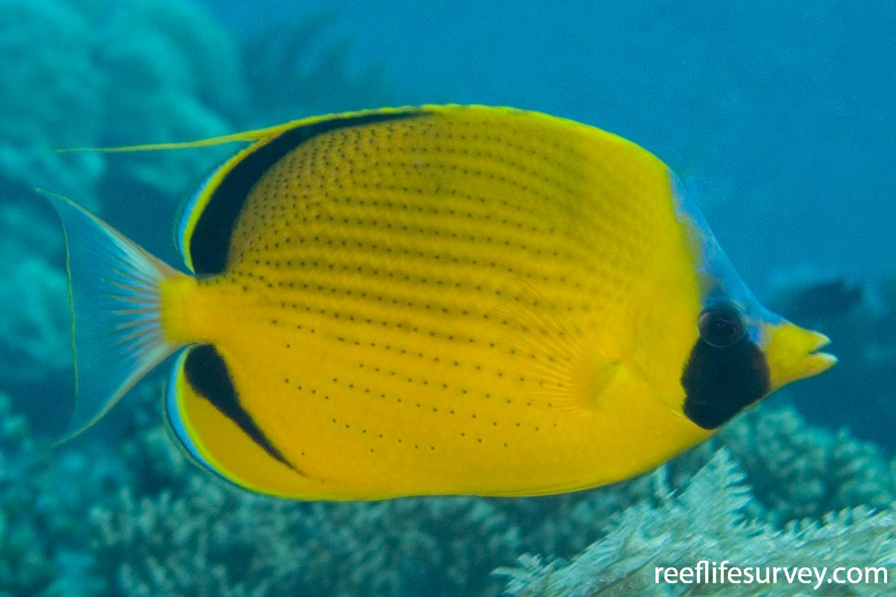Chaetodon semeion, Adult, Raja Ampat, Indonesia,  Photo: Andrew Green