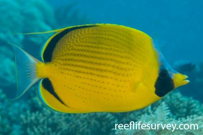Chaetodon semeion: Adult, Raja Ampat, Indonesia,  Photo: Andrew Green