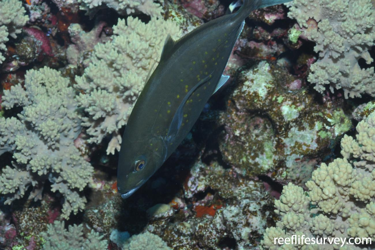 Carangoides bajad, Red Sea,  Photo: Rick Stuart-Smith