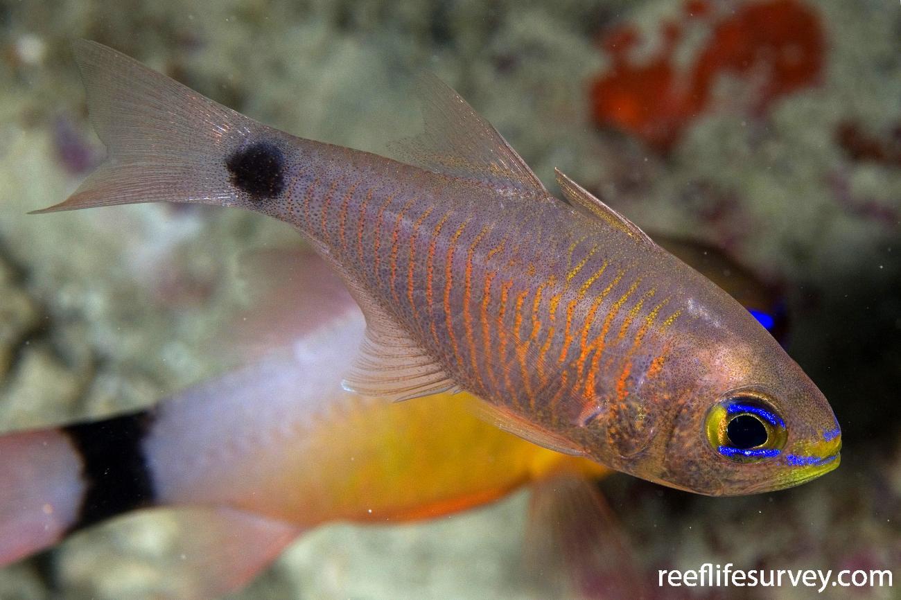 Taeniamia fucata, Adult, Naigani Is, Fiji,  Photo: Andrew Green