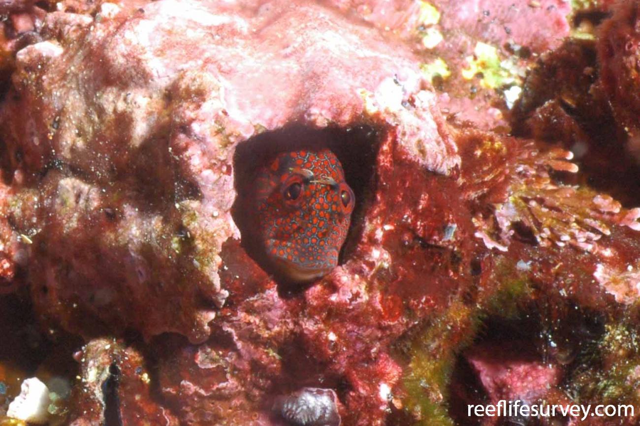 Hypsoblennius brevipinnis, Malpelo Island, Colombia,  Photo: Graham Edgar