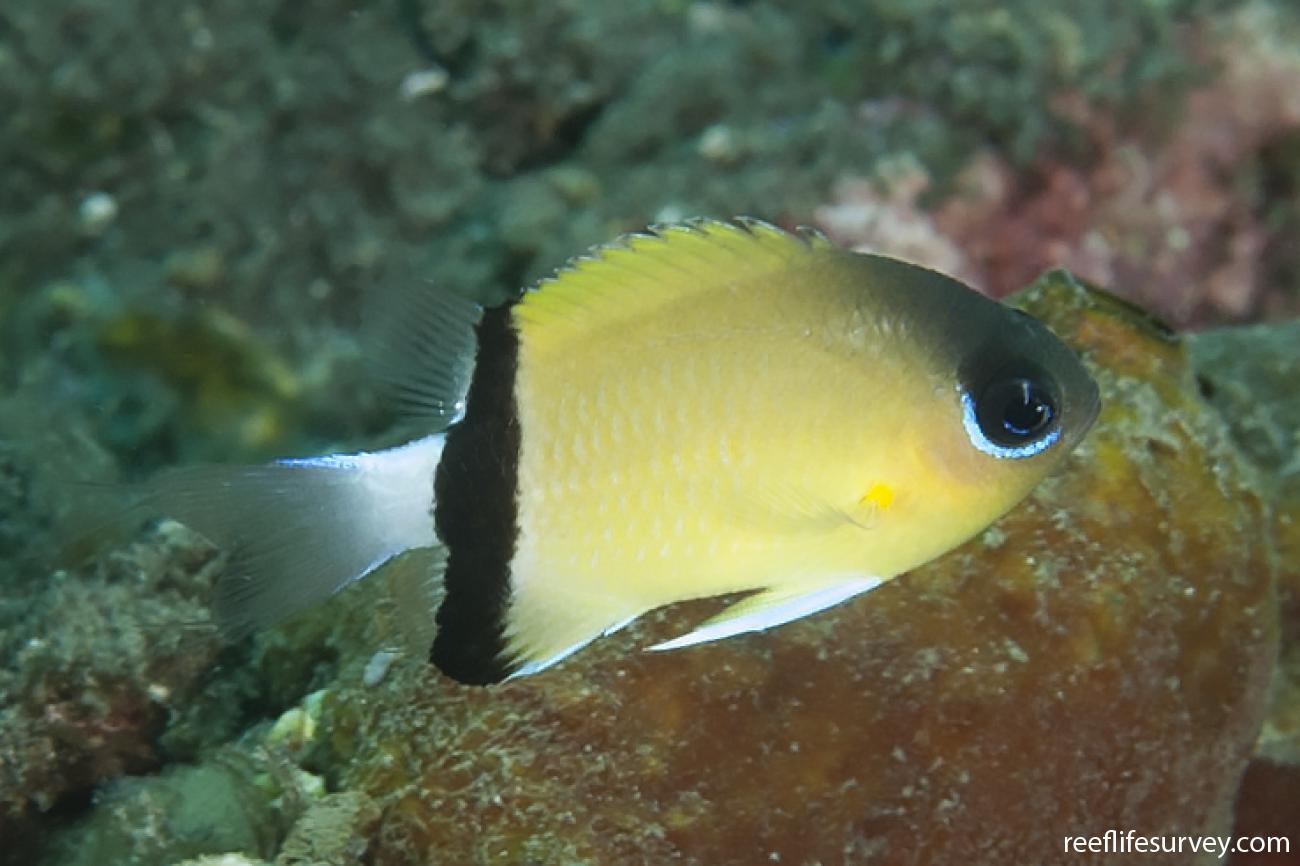 Chromis retrofasciata, Adult, Bali, Indonesia,  Photo: Ian Shaw