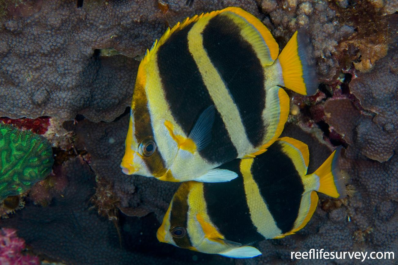 Chaetodon tricinctus, Adult, Lord Howe Is, NSW,  Photo: Andrew Green