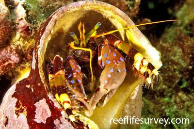 Calcinus imperialis: Adult, Lord Howe Island,  Photo: Ian Shaw