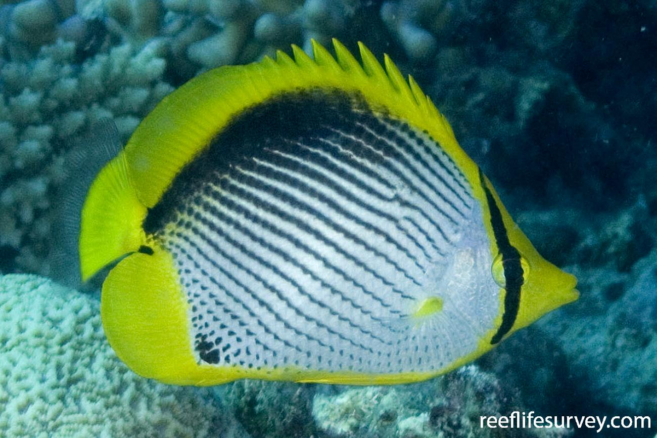Chaetodon melannotus, Coral Sea, Australia,  Photo: Andrew Green