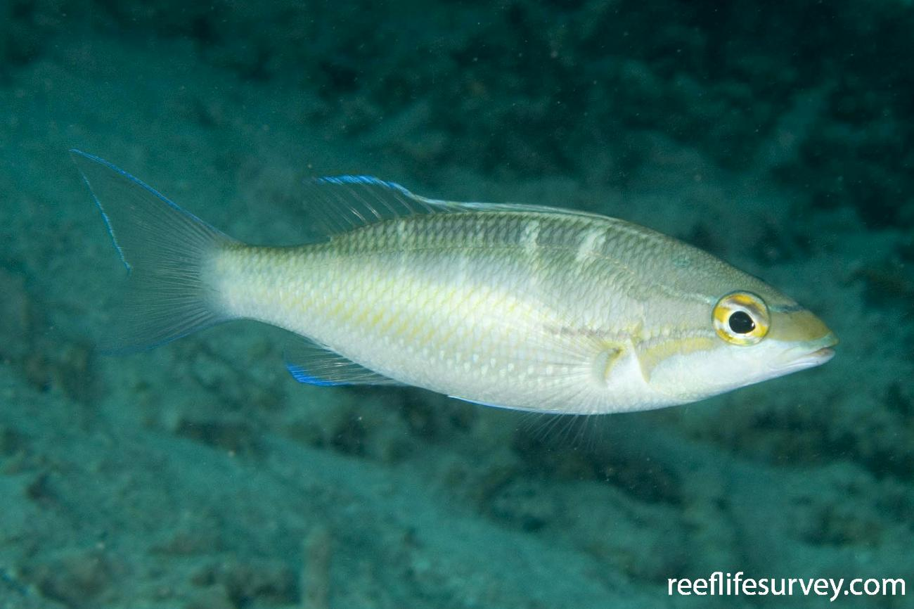 Pentapodus trivittatus, Raja Ampat, Indonesia,  Photo: Andrew Green