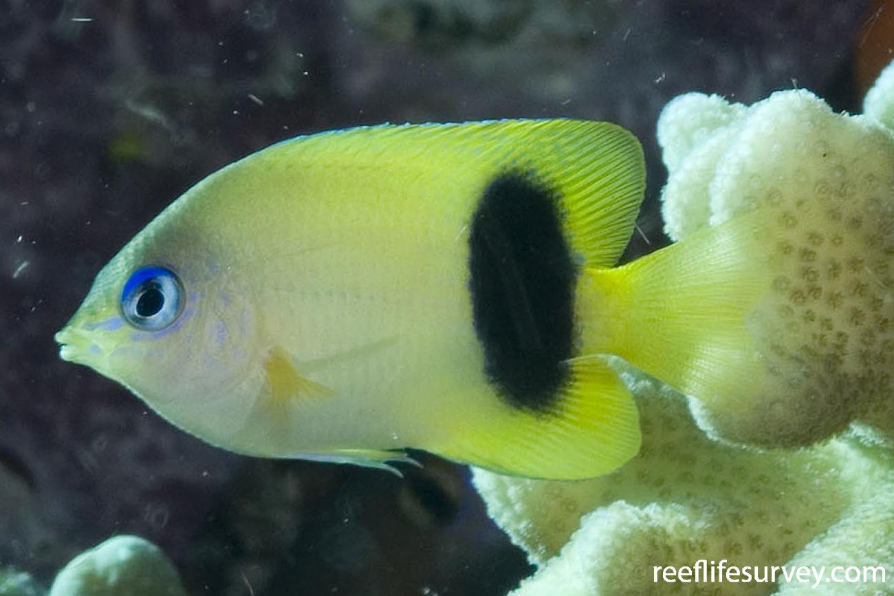 Plectroglyphidodon johnstonianus, Coral Sea, QLD,  Photo: Andrew Green