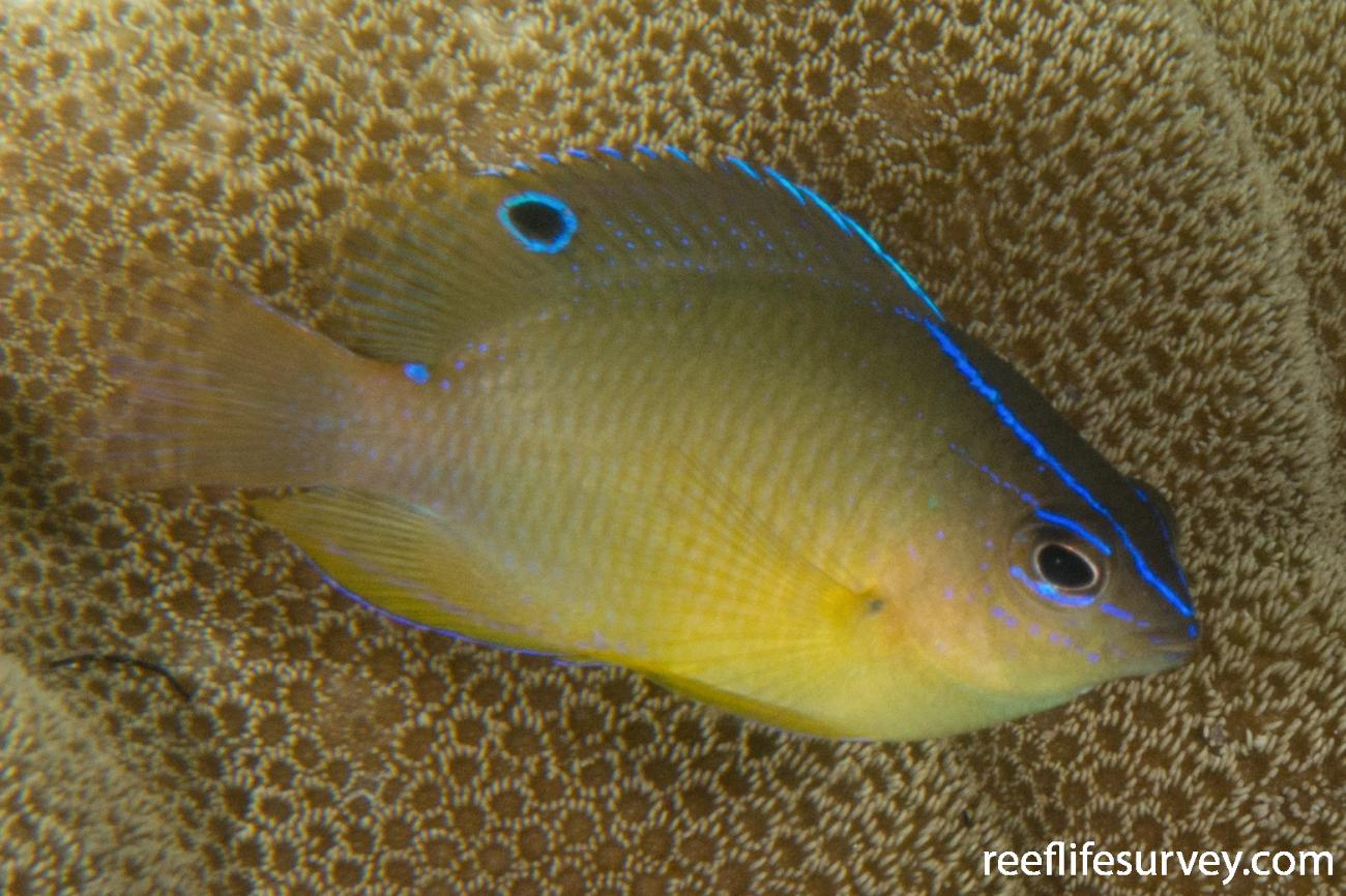 Pomacentrus simsiang, Juvenile, Raja Ampat, Indonesia,  Photo: Rick Stuart-Smith