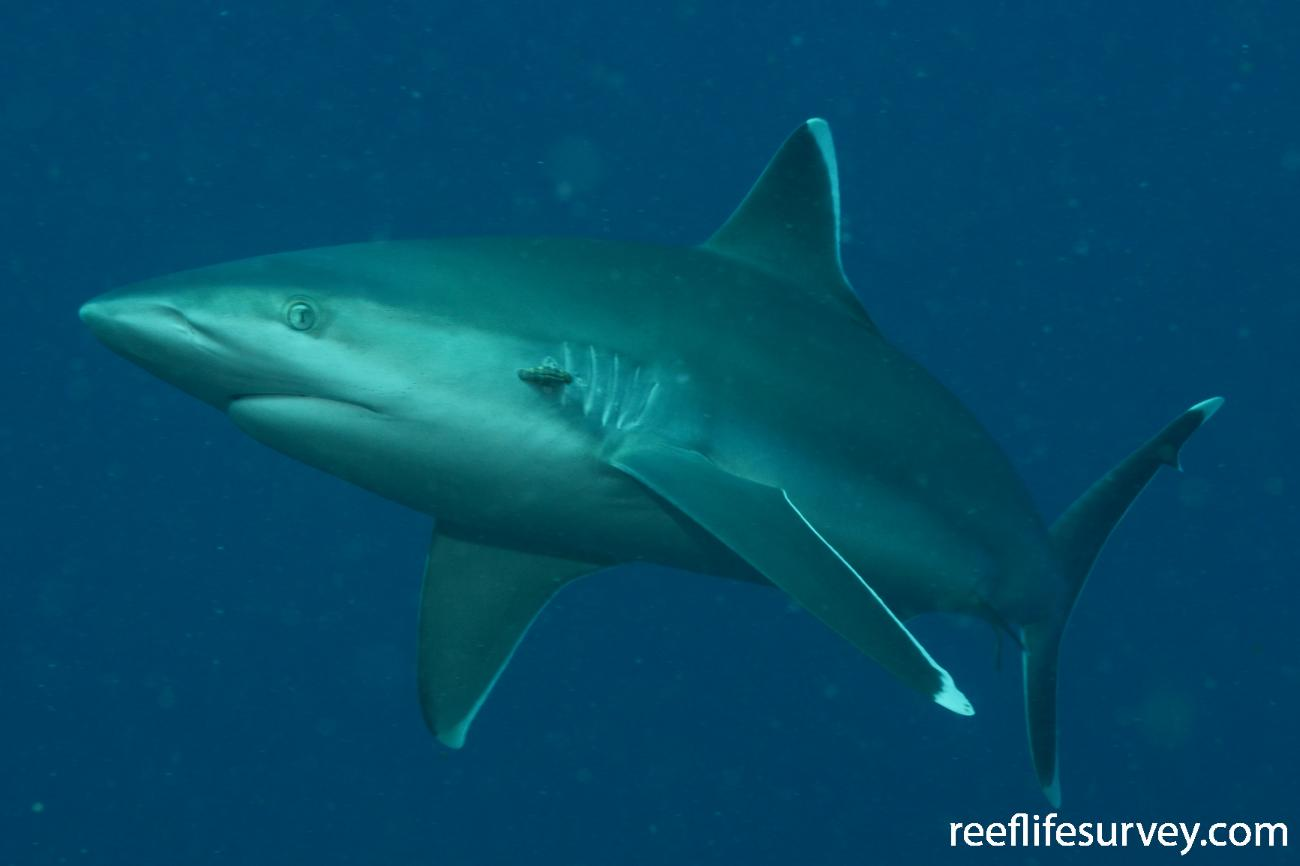 Carcharhinus albimarginatus, Boot Reef, Coral Sea,  Photo: Graham Edgar